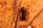 Hydroporus notatus